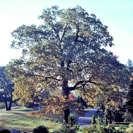 Oak trees are an integral part of Santa Clarita's landscape and history.